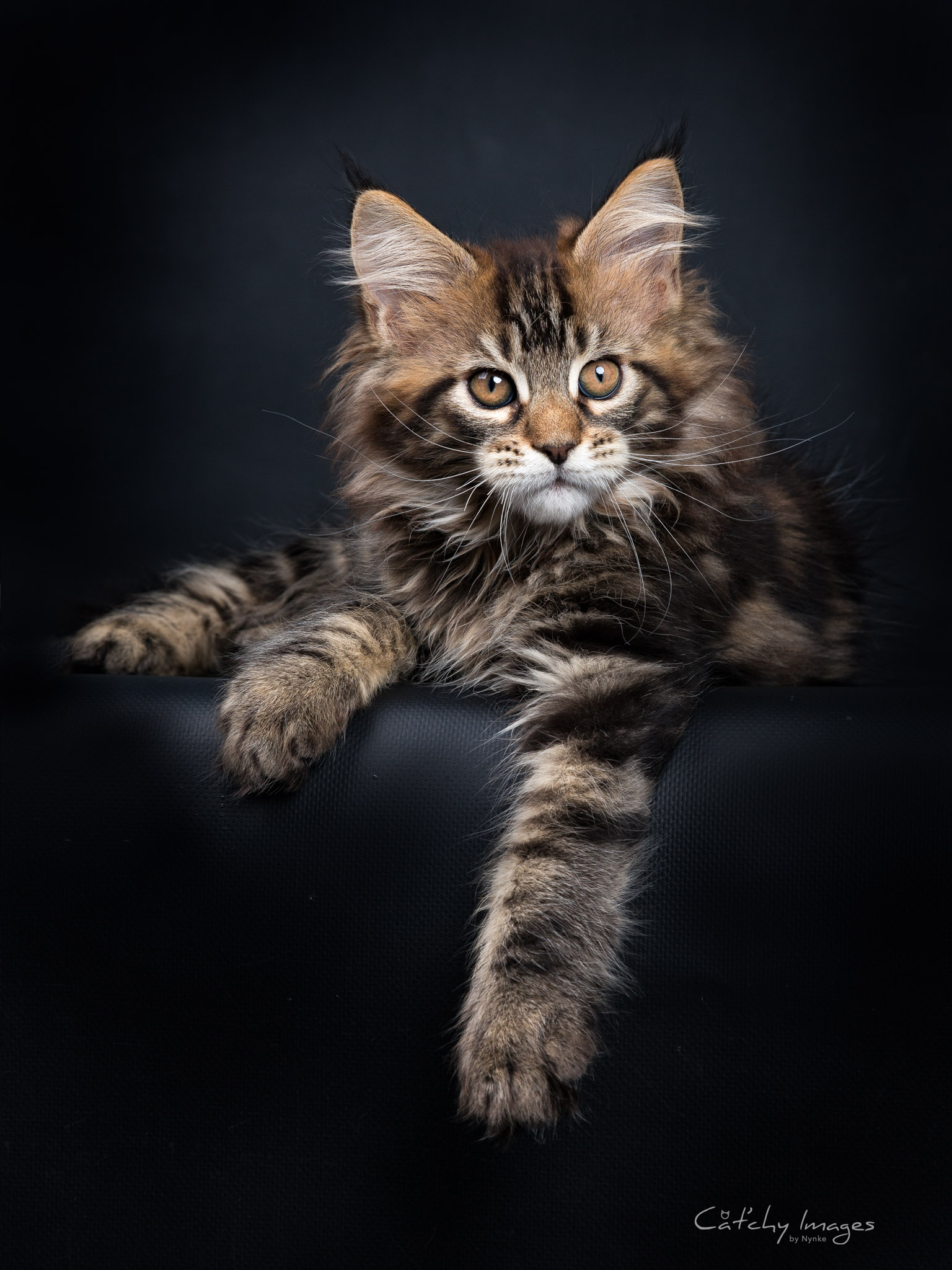 maine coon � catchy images