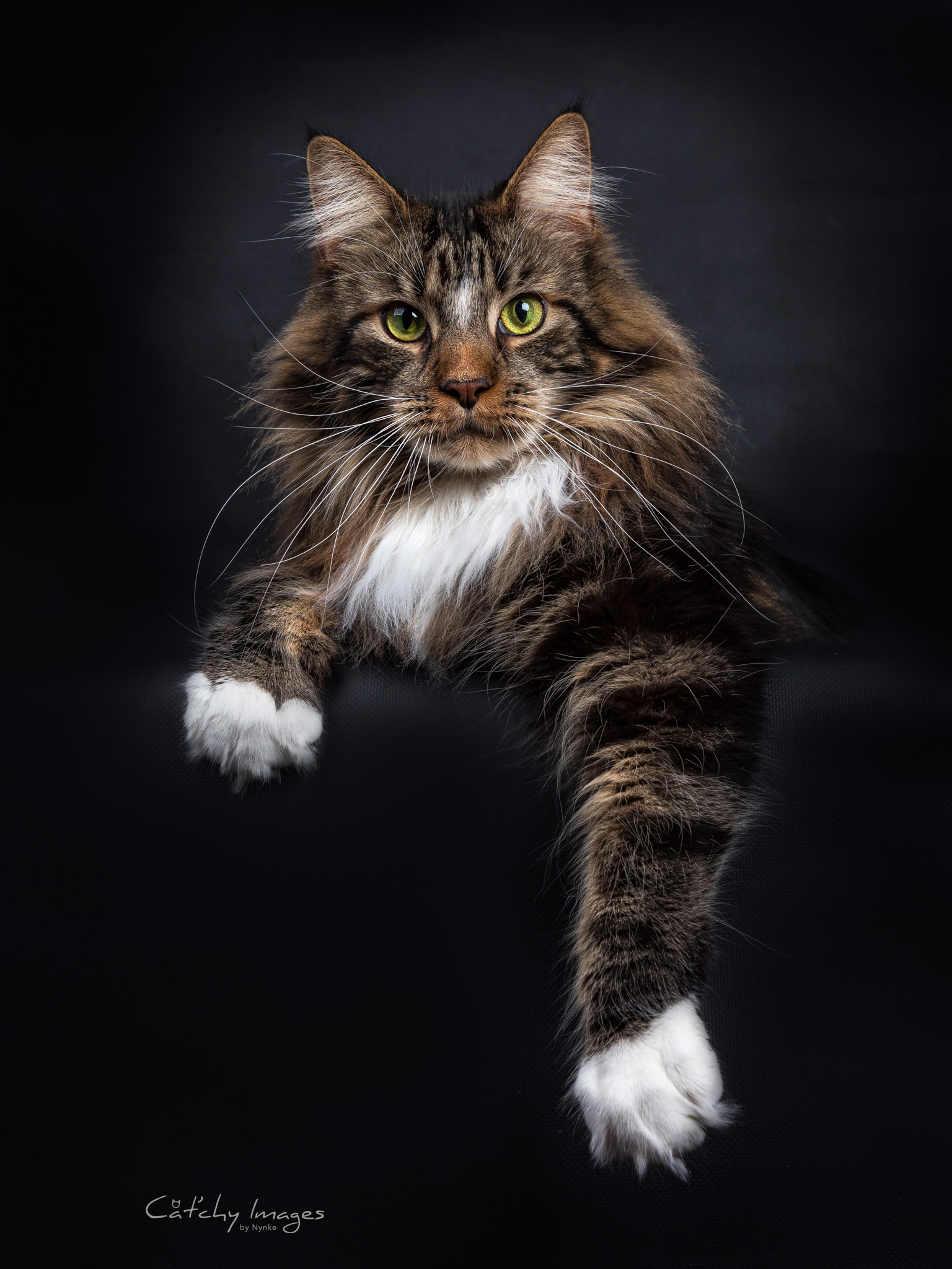 Maine Coon – Cat'chy...