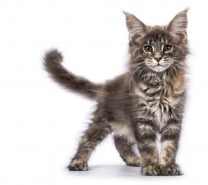 dierenfotograaf rotterdam, maine coons, kittens