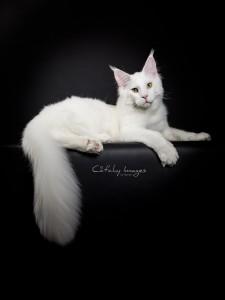 dierenfotograaf rotterdam, maine coon, kattenfotografie, cat'chy Images
