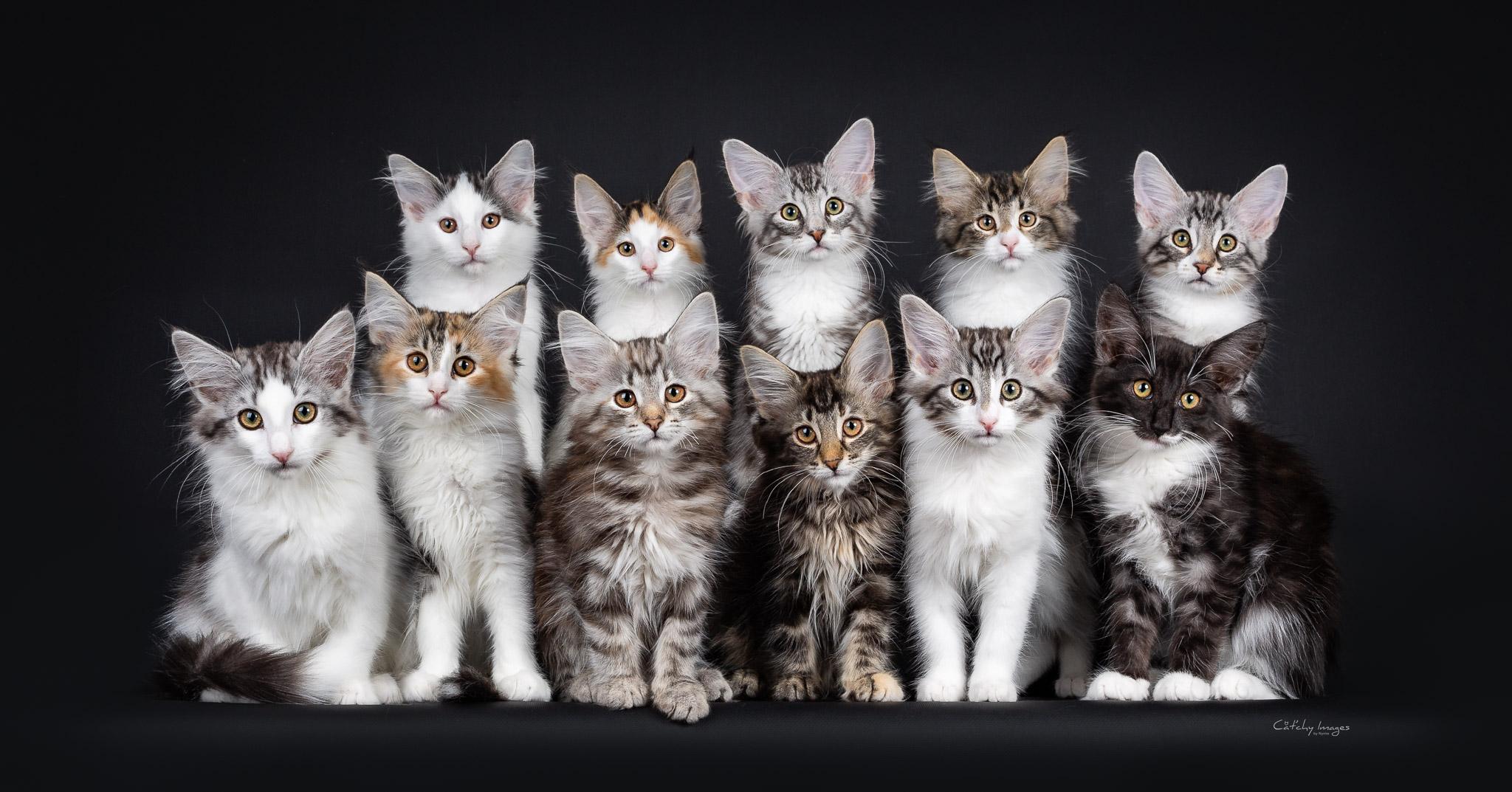 best cat photographer, cat photography, denmark, international, norwegian forestcats, record, eleven